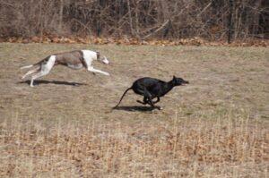 Greyhounds_2011 03 26_0019