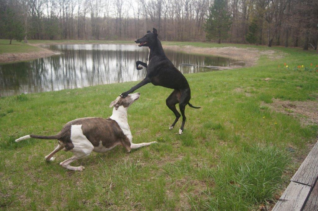 Greyhounds_2011 04 30_0083
